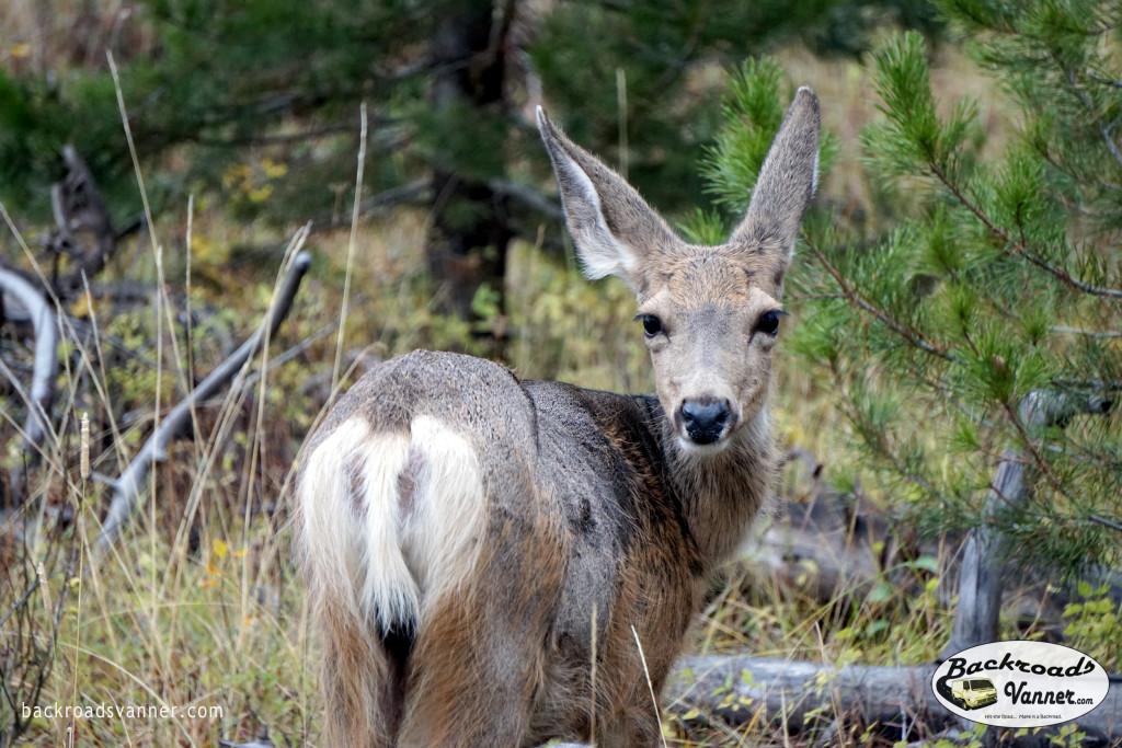 Deer in Grand Teton National Park  Photo By BackroadsVanner.com
