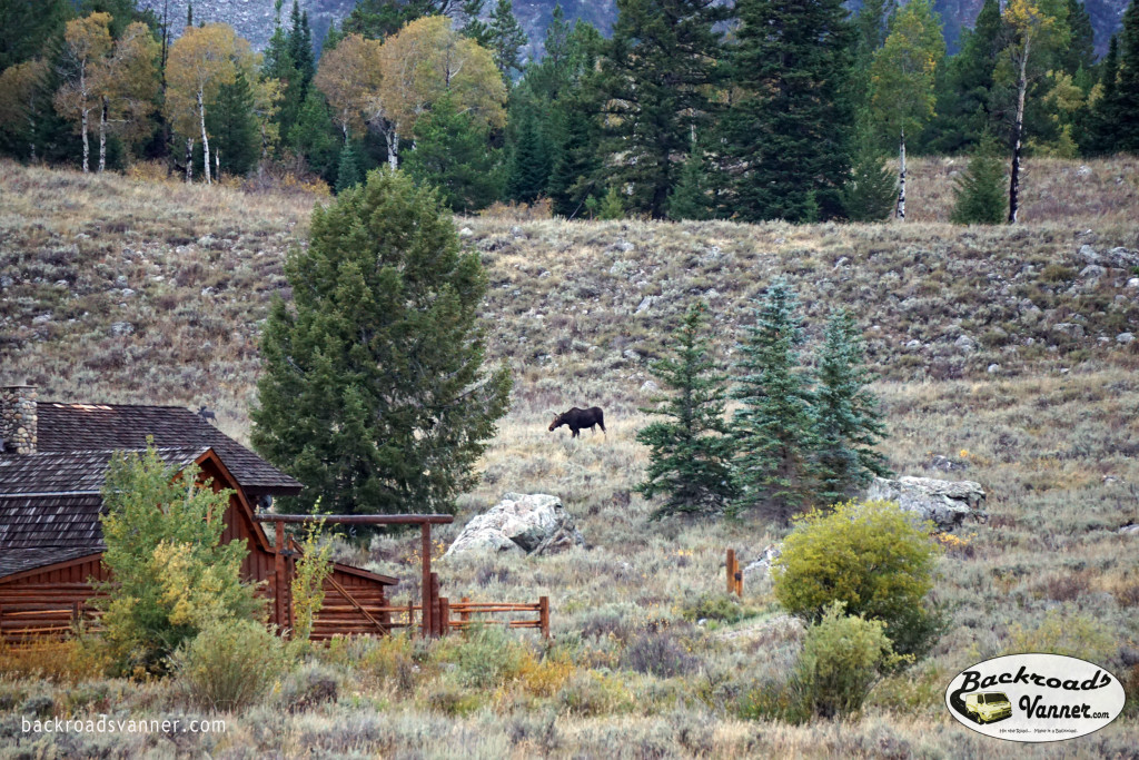 Moose near Moose, WY!   Photo By BackroadsVanner.com