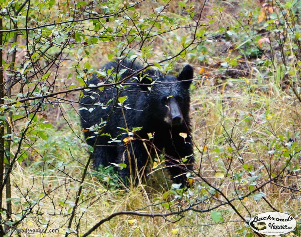 Black Bear @ Moose-Wilson Rd. | Grand Teton National Park | Photo by BackroadsVanner.com