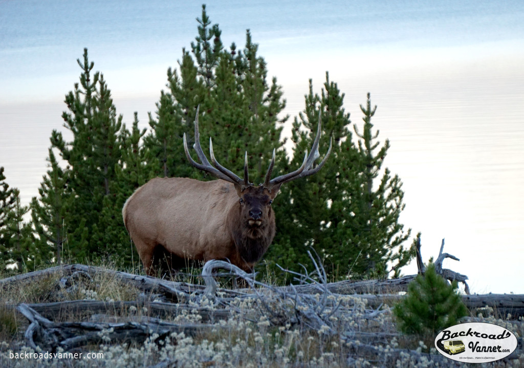Bull Elk in Yellowstone National Park | Photo By BackroadsVanner.com