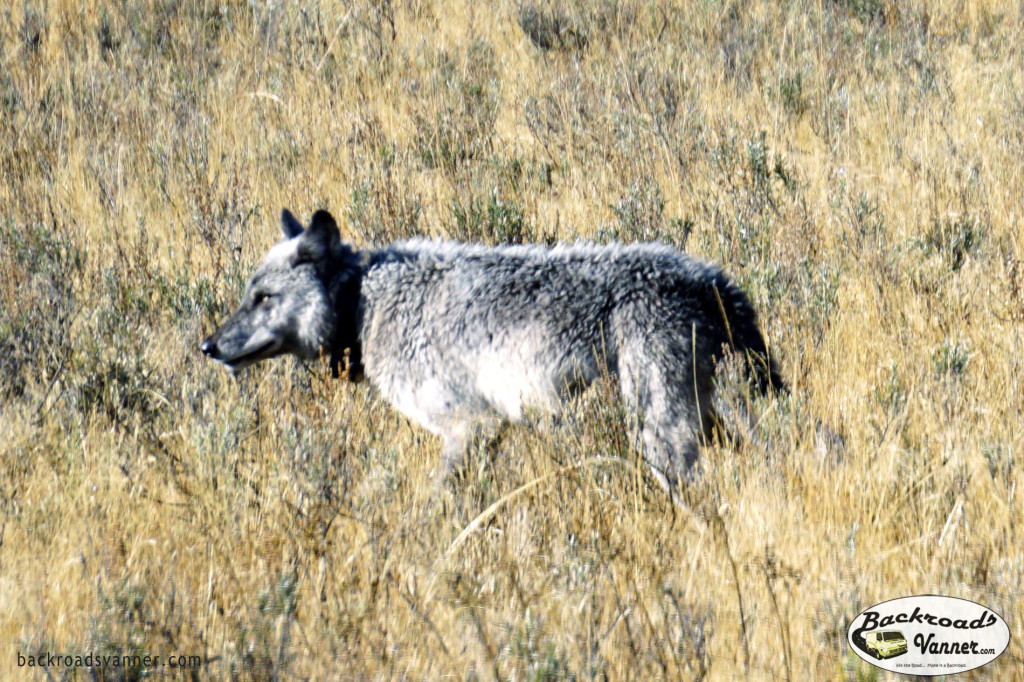 Grey Wolf in Hayden Valley, Yellowstone National Park. We think this is the alpha female of the wolf pack in Hayden Valley | Photo by Backroadsvanner.com